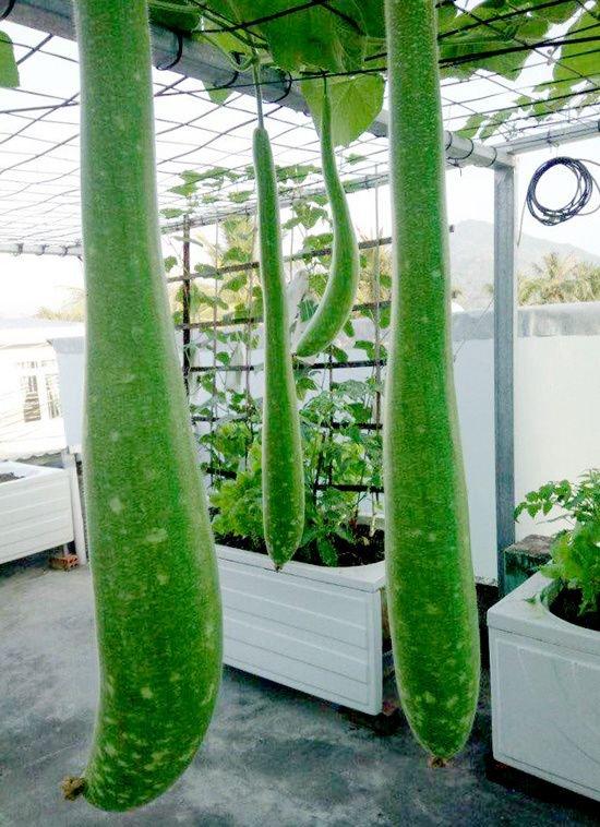 vuon rau san thuong 2 0788 Gia chủ sử dụng bồn tắm để trồng rau trên sân thượng