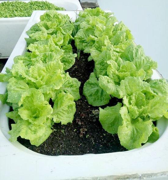 vuon rau san thuong 3 60df Gia chủ sử dụng bồn tắm để trồng rau trên sân thượng