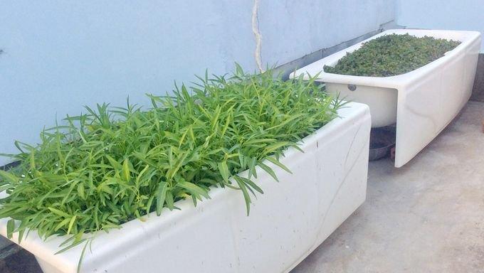vuon rau san thuong 4 4774 Gia chủ sử dụng bồn tắm để trồng rau trên sân thượng