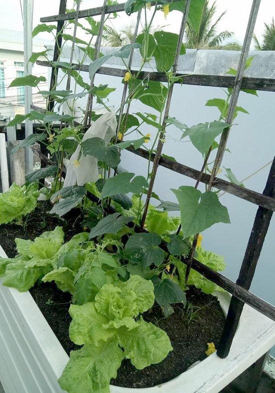vuon rau san thuong 5 c5f6 Gia chủ sử dụng bồn tắm để trồng rau trên sân thượng